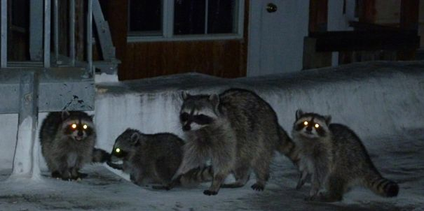 raccoonfamilyatnight